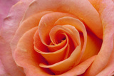 Orange Rose Close-Up Photographic Print by Matt Freedman