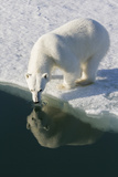 Polar Bear Reflected in Water While Drinking, Svalbard, Norway Photographic Print by  Jaynes Gallery
