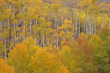 Aspen Grove in Peak Autumn Foliage, White River NF, Colorado, USA Photographic Print by  Jaynes Gallery
