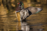 Wood Duck, British Columbia, Canada Photographic Print by Art Wolfe