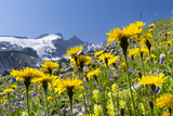 Rough Hawkbit in Full Bloom, Zillertal Alps, Austria Photographic Print by Martin Zwick