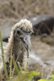Waved Albatross Chick, Espanola Island, Galapagos, Ecuador Photographic Print by Cindy Miller Hopkins