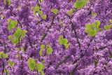Purple Blossoms on Redbud Tree, Multnomah County, Oregon, USA Photographic Print by  Jaynes Gallery