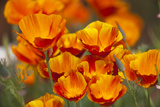 California Poppies in Bloom, Seattle, Washington, USA Photographic Print by Terry Eggers