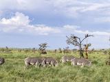Grevy's Zebra, Kenya Photographic Print by Martin Zwick