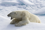 Yawning Polar Bear on Sea Ice, Svalbard, Norway Photographic Print by  Jaynes Gallery