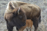 Bison Cow and Calf, Yellowstone National Park, Wyoming, USA Photographic Print by Gerry Reynolds