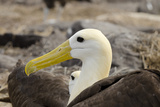 Waved Albatross, Espanola Island, Galapagos, Ecuador Photographie par Cindy Miller Hopkins