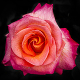 Mardi Gras Floribunda Rose at Brookside Gardens, Maryland, USA Photographic Print by Christopher Reed