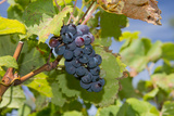 Wine Grapes, Bodegas Carrau Winery, Colon Area, Montevideo, Uruguay Photographic Print by Cindy Miller Hopkins