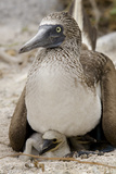 Blue-Footed Booby Sitting on Chicks, Lobos Island, Galapagos, Ecuador Photographic Print by Cindy Miller Hopkins