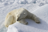 Polar Bear Lying Asleep on Ice Ridge, Svalbard, Norway Photographic Print by  Jaynes Gallery