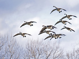 Canadian Geese, Iowa, USA Photographic Print by Michael Scheufler