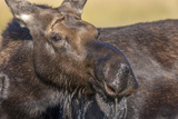 Moose in Watering Hole, Grand Teton National Park, Wyoming, USA Photographic Print by Tom Norring
