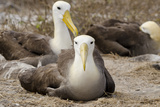 Waved Albatross Colony, Espanola Island, Galapagos, Ecuador Photographic Print by Cindy Miller Hopkins