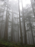 Trees in Fog, Mount Ellinore Trail, Olympic Peninsula, Washington, USA Photographic Print by Matt Freedman