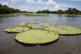 Giant Amazon Lily Pads, Valeria River, Boca Da Valeria, Amazon, Brazil Photographic Print by Cindy Miller Hopkins