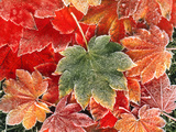 Maple Leaves, Close-Up Photographic Print by Stuart Westmorland
