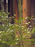 Giant Sequoias and Blooming Dogwood, Sequoia NP, California, USA Photographic Print by Jerry Ginsberg