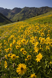 Sunflowers Meadow, Little Cottonwood Canyon, Albion Basin, Utah, USA Photographic Print by Charles Gurche