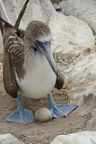 Blue-Footed Booby on Egg, Punta Suarez, Espanola, Galapagos, Ecuador Photographic Print by Cindy Miller Hopkins