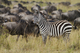 Zebra in the Wildebeest Herd, Maasai Mara Wildlife Reserve, Kenya Photographic Print by Jagdeep Rajput