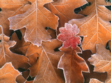 Frosted Vine Maple Leaf and Brown Oak Leaves, Pacific Northwest, USA Photographic Print by Stuart Westmorland