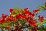 Flamboyant Tree in Bloom, Ile Royale, Salvation Islands, French Guiana Fotografisk tryk af Cindy Miller Hopkins