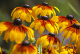 Cherokee Sunset Cone Flowers in Bloom, Seattle, Washington, USA Photographic Print by Terry Eggers