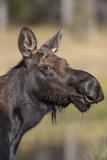 Moose in Watering Hole, Grand Teton National Park, Wyoming, USA Fotografisk tryk af Tom Norring