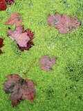 Maple Leaves in Duckweed, Adirondack Park and Preserve, New York, USA Photographic Print by Charles Gurche