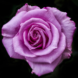 Silver Star Grandiflora Rose at Brookside Gardens, Maryland, USA Photographic Print by Christopher Reed