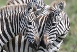 Plains Zebra, Maasai Mara, Kenya Photographic Print by Martin Zwick