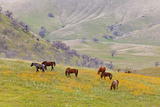 Horses in Meadow, Caliente, California, USA Photographic Print by  Jaynes Gallery