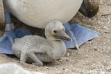 Blue-Footed Booby Chick, Punta Suarez, Espanola, Galapagos, Ecuador Photographic Print by Cindy Miller Hopkins