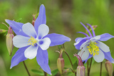 Blue Columbine, Rio Grande National Forest Colorado, USA Photographic Print by Charles Gurche