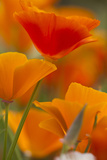 Summer Mission Bell Poppies in Full Bloom, Seattle, Washington, USA Photographic Print by Terry Eggers