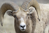 Bighorn Ram, Bighorn Sheep, Yellowstone National Park, Wyoming, USA Photographic Print by Gerry Reynolds