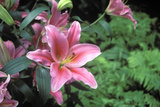 Oriental Lily, New York Botanical Gardens, Bronx, New York, USA Photographic Print by Peter Bennett
