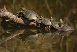 Western Painted Turtles, Sunning, Ridgefield NWR, Washington, USA Photographie par Michel Hersen