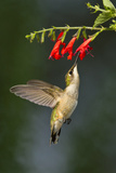 Ruby-Throated Hummingbird (Archilochus Colubris) Feeding, Texas, USA Reproduction photographique par Larry Ditto