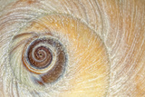 Close-Up of Moon Snail Shell, Seabeck, Washington, USA Photographic Print by  Jaynes Gallery