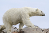 Close-Up of Polar Bear Walking on Rocks, Svalbard, Norway Photographic Print by  Jaynes Gallery