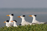 Royal Tern (Sterna Maxima) Nesting in a Colony, Texas, USA Photographic Print by Larry Ditto