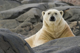 Close-Up of Polar Bear on Rocky Ground, Svalbard, Norway Photographic Print by  Jaynes Gallery