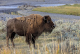 Bison at Yellowstone River, Yellowstone National Park, Wyoming, USA Photographic Print by Tom Norring