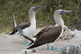 Blue-Footed Booby Courtship Dance, North Seymour, Galapagos, Ecuador Photographic Print by Cindy Miller Hopkins