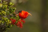 Close-Up of Iiwi Bird on Ohia Tree, Hakalau Forest NWR, Hawaii, USA Photographic Print by  Jaynes Gallery