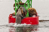 Sea Lion Fights for Bouy Space, Tongass National Forest Alaska, USA Photographic Print by  Jaynes Gallery
