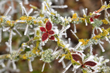 Close-Up of Frosted Cotoneaster Plant, Oregon, USA Photographic Print by  Jaynes Gallery